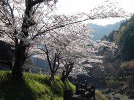 川代公園の桜 画像(2/4)