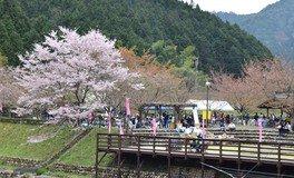 川代公園の桜 画像(4/4)