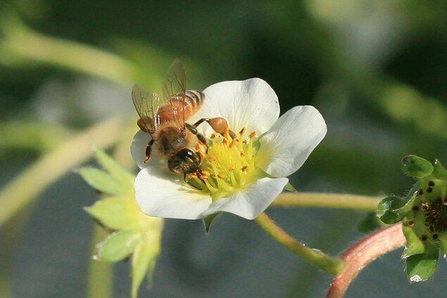 山田養蜂場 みつばち農園 いちご狩り