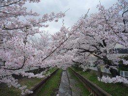 元住吉渋川沿い・中原平和公園の桜 画像(2/3)