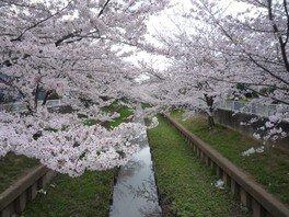 元住吉渋川沿い・中原平和公園の桜 画像(3/3)