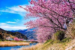 河津川沿桜並木の桜 画像(2/2)