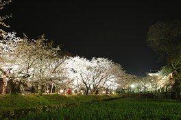 大村公園(二重馬場)の桜 画像(3/5)
