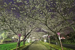 大村公園(二重馬場)の桜 画像(4/5)