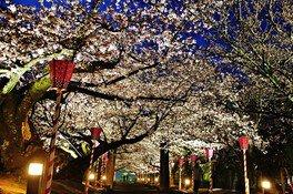 大村公園(二重馬場)の桜 画像(5/5)