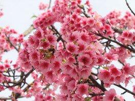 名護城公園の桜 画像(2/5)