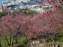名護城公園の桜 画像(3/5)
