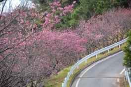 名護城公園の桜 画像(4/5)
