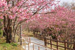 名護城公園の桜 画像(5/5)
