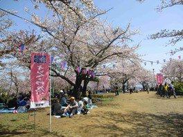 衣笠山公園の桜 画像(3/3)