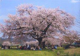 清滝小学校の桜 画像(3/3)