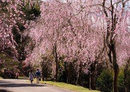 世羅 甲山ふれあいの里の桜(2/5)