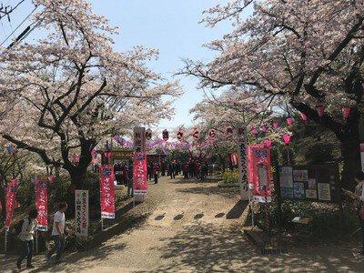 衣笠山公園の桜