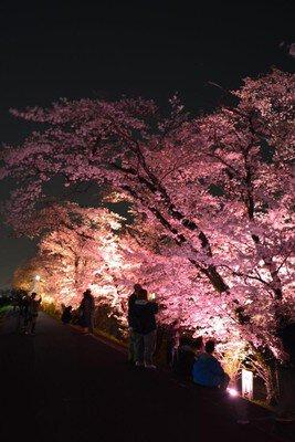 吉見百穴周辺の桜