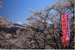 大法師公園の桜 画像(2/2)
