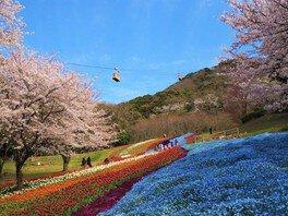 火の山公園の桜 画像(2/2)