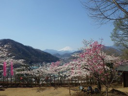 岩殿山丸山公園の桜 画像(2/3)