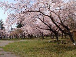 合浦公園の桜 画像(2/5)