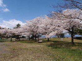 合浦公園の桜 画像(4/5)