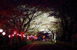 家山の桜 画像(2/4)