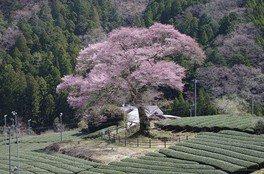 家山の桜 画像(3/4)