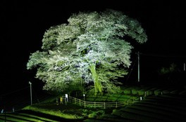 家山の桜 画像(4/4)