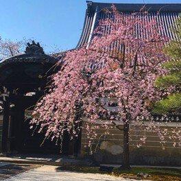 妙顕寺の桜 画像(2/5)