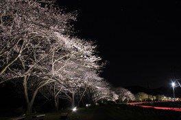 松崎町の桜 画像(2/4)