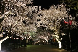 さくら温泉通りの桜 画像(2/2)