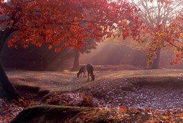 奈良公園の紅葉 画像(2/2)