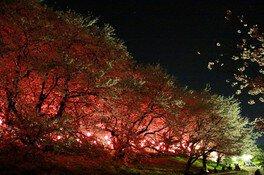 幸手権現堂桜堤(県営権現堂公園)の桜 画像(2/5)