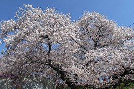 幸手権現堂桜堤(県営権現堂公園)の桜 画像(3/5)
