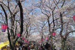 幸手権現堂桜堤(県営権現堂公園)の桜 画像(4/5)