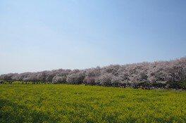 幸手権現堂桜堤(県営権現堂公園)の桜 画像(5/5)