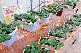 庭やベランダで手軽にいちごを育てられる栽培セット