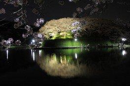 蓮華寺池公園の桜 画像(2/2)