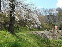 釣山公園の桜 画像(2/2)