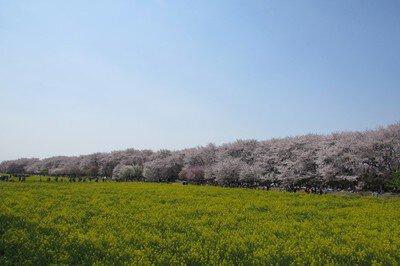 幸手権現堂桜堤(県営権現堂公園)の桜