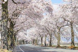 馬見ヶ崎さくらラインの桜 画像(3/4)