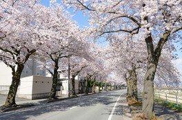 馬見ヶ崎さくらラインの桜 画像(4/4)