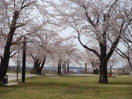 三八城公園の桜 画像(2/2)