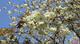 美の山公園の桜(黄色い桜のウコン) 画像(4/5)