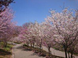 東山動植物園の桜 画像(2/3)