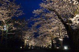 長瀞の桜 画像(3/5)