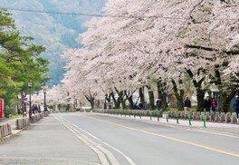 長瀞の桜 画像(4/5)