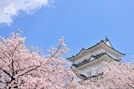 小田原城址公園の桜 画像(3/3)