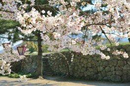 萩城跡指月公園の桜 画像(2/4)