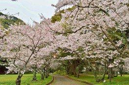 萩城跡指月公園の桜 画像(3/4)