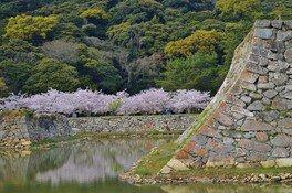 萩城跡指月公園の桜 画像(4/4)
