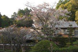 湖東三山西明寺の桜 画像(2/3)